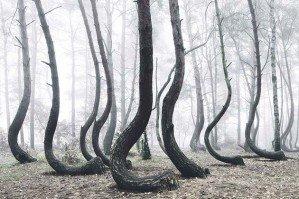 Загадка «Кривого леса»
