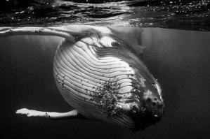 Гиганты — портреты горбатых китов Джема Крисвела