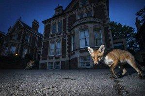 Фотограф снимает диких животных в городах