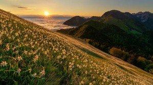 Майские Альпы — нарциссы покрыли склоны горы в Словении