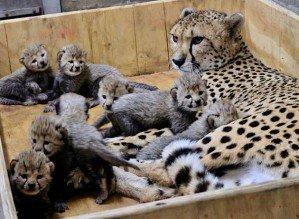 Самка гепарда Бингва родила в неволе рекордное число котят