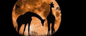То, что вы не знали о жирафах