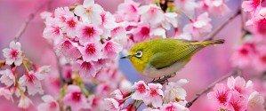 Цветущая сакура в апреле 2014