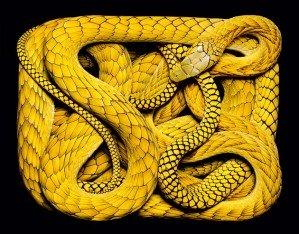 Красота ядовитых змей