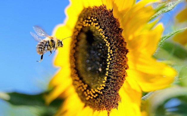 POTD_Bumblebee_sun_2662235k