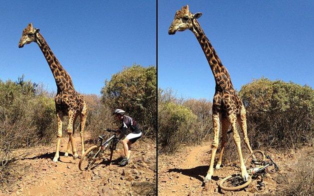 POTD_angry_giraffe_2663269k