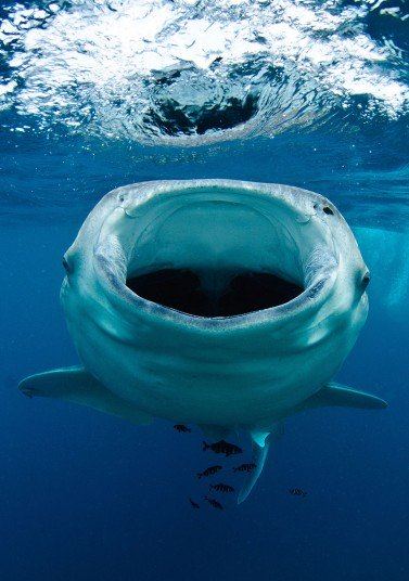 POTD_whale_shark_2662242k