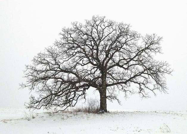 фото одного дуба