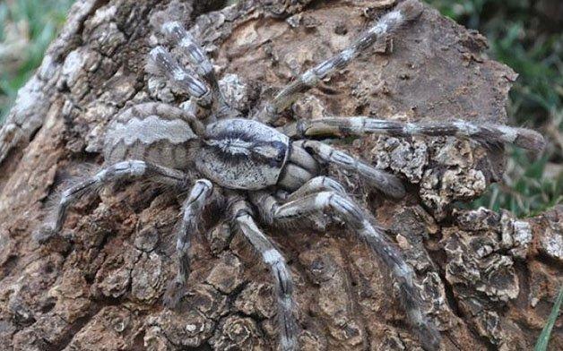 самый большой тарантул
