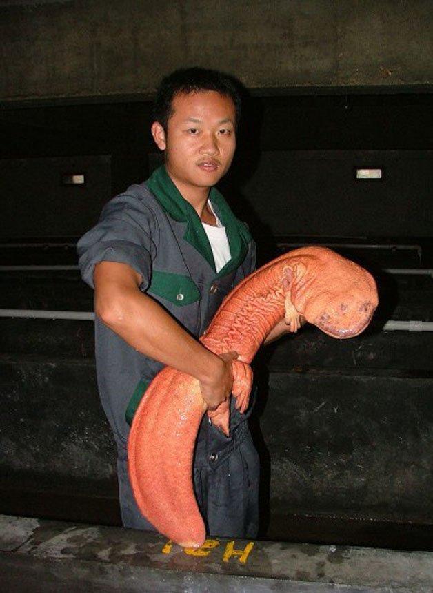 самая большая саламандра