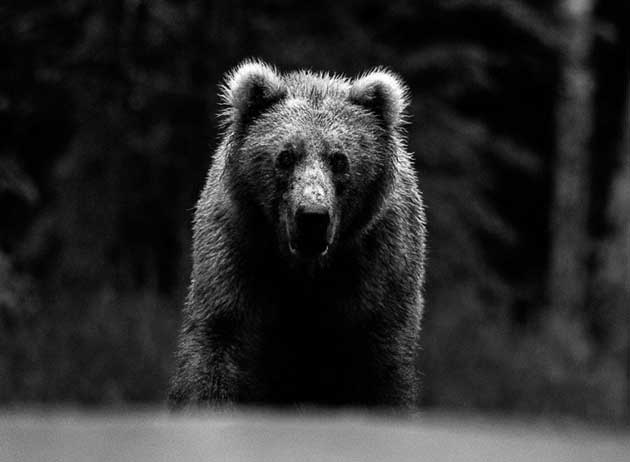 wildlife-bear_2722412k