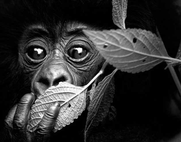 wildlife-chimp_2722411k
