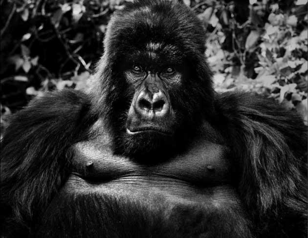 wildlife-gorilla_2722408k