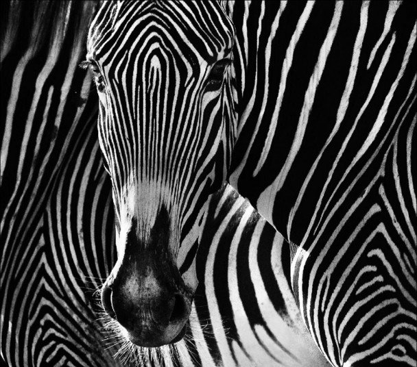 wildlife-zebra_2722400k