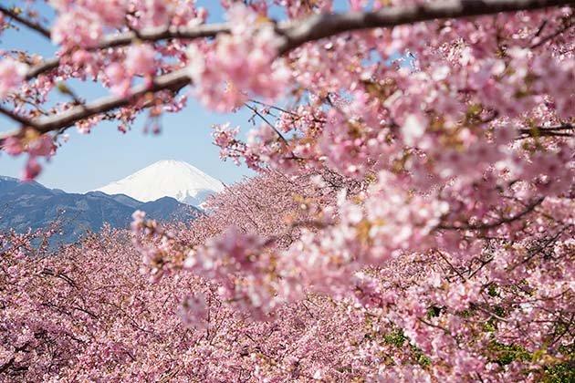 cherry-blossom-sakura-14 (1)