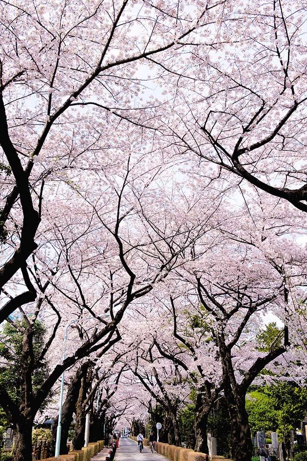 cherry-blossom-sakura-22