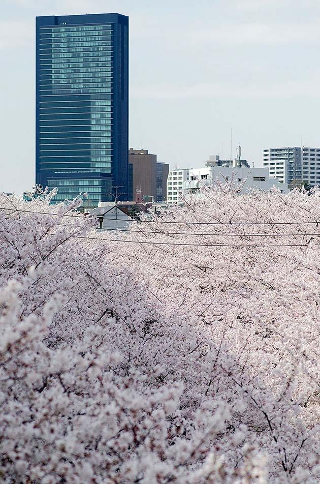 cherry-blossom-sakura-27