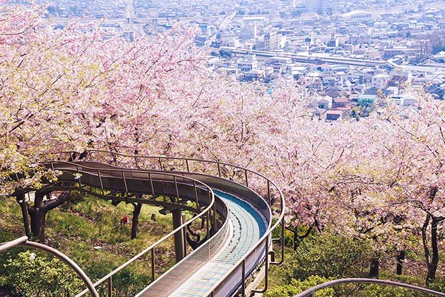 cherry-blossom-sakura-30