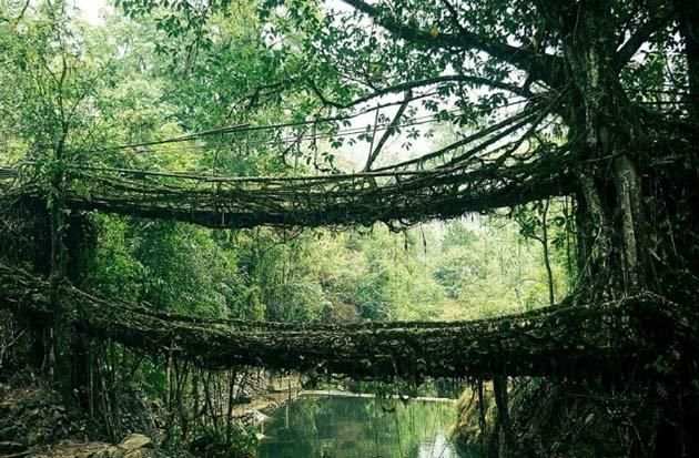 Мосты из корней в Индии