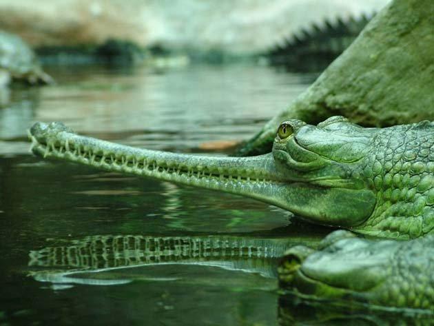 Indian-gharial-640x480