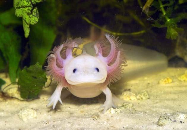 axolotl-spiegel.de--640x444