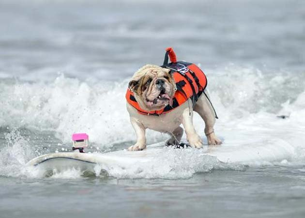 Betsy, a seven-year-old English Bulldog, rides a wave during the surfing competition of the Purina Incredible Dog Challenge in San Diego