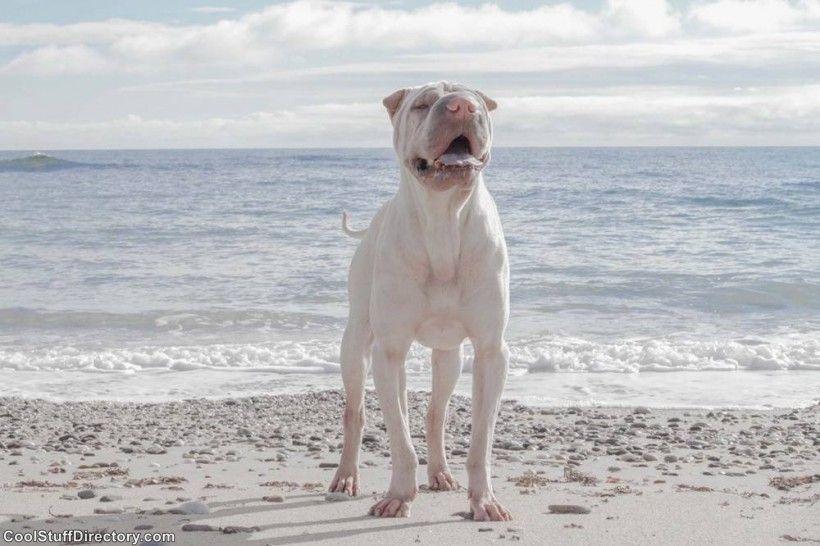 New Instagram Star Shar Pei Dog Paddington (10)