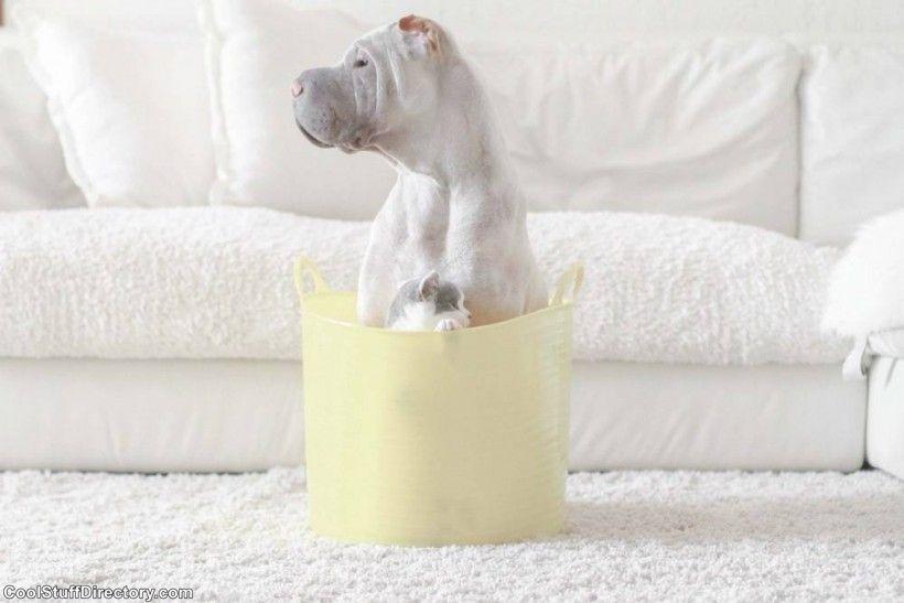 New Instagram Star Shar Pei Dog Paddington (12)