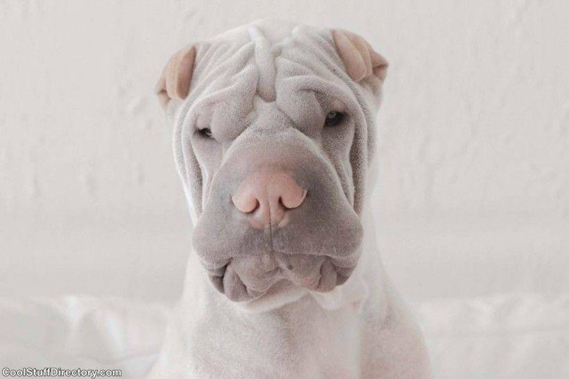 New Instagram Star Shar Pei Dog Paddington (6)