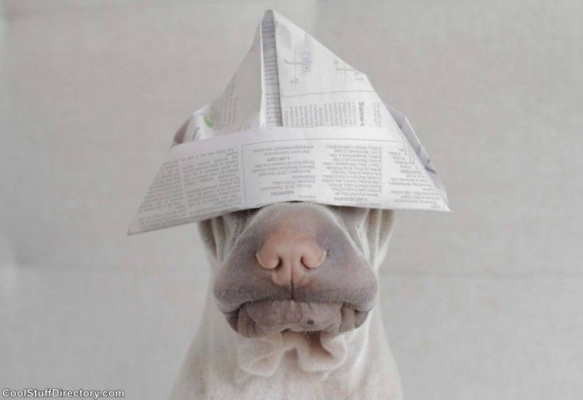 New Instagram Star Shar Pei Dog Paddington (5)