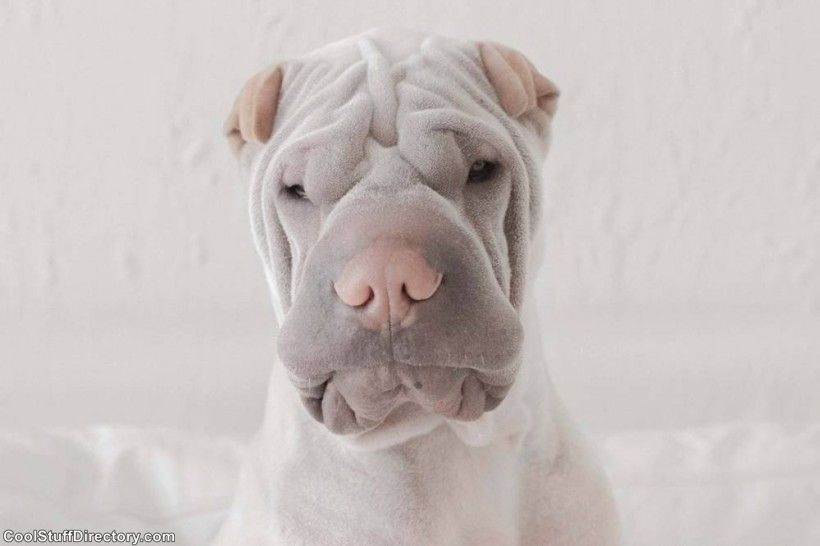 New Instagram Star Shar Pei Dog Paddington (6)