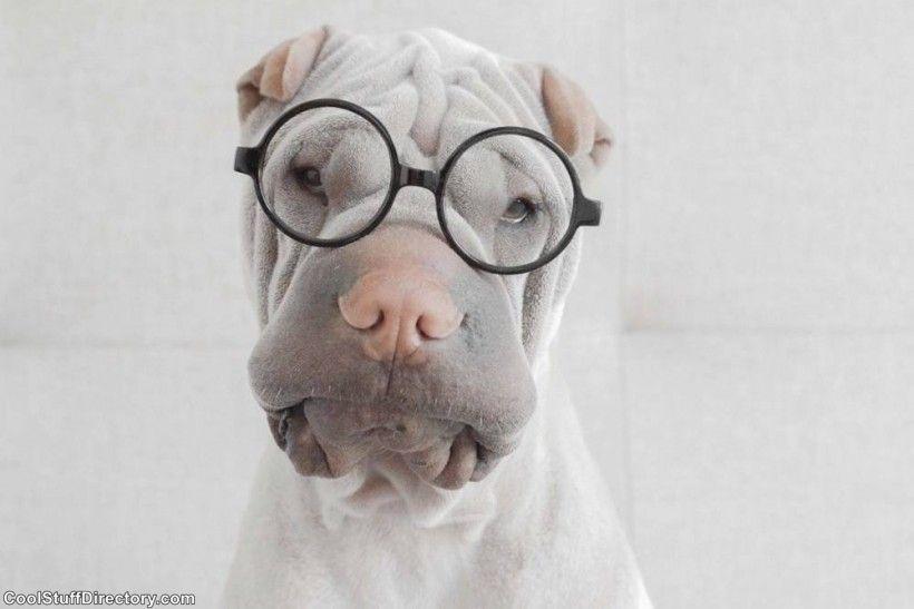 New Instagram Star Shar Pei Dog Paddington (9)