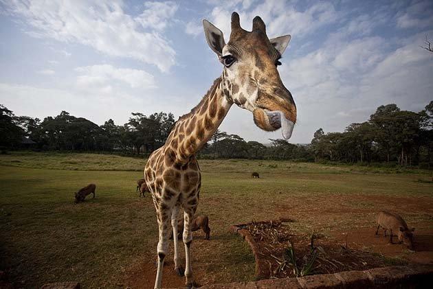 giraffe-manor-hotel-nairobi-kenya-africa-safari-16