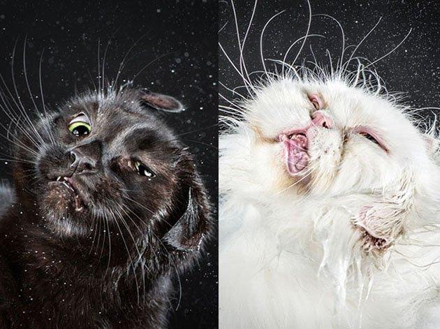 Картинки по запросу Забавные отряхивающиеся кошки