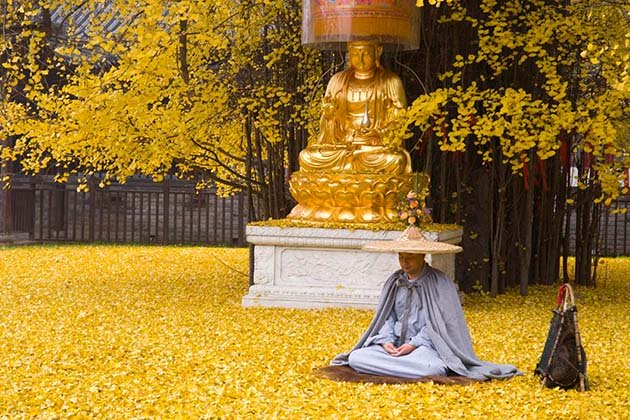 1400-old-ginkgo-tree-yellow-leaves-buddhist-temple-china-6